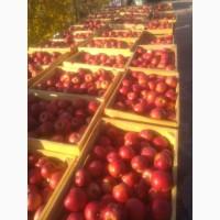 Продам яблоки сорт айдаред крупный калибр