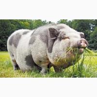 Закуповуєм свиней