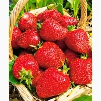 Полуниця Роксана (Roxana Strawberry) саджанці полуниці Фріго