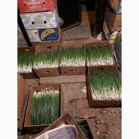 Продам лук зелёные