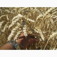 Пшеница Озимая Платин 1 репродукция