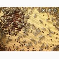 Продам бджоло пакети карпацької породи в будь якій кількості