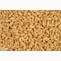 Купим пшеницу фуражную