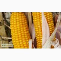Купить семена кукурузи Амарок