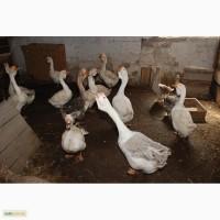 Гуси домашні, великий вибір гусей