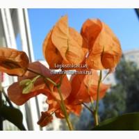 Бугенвиллия Orange Ice(пестролистная оранжевая)