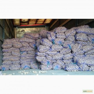 Продам картофель семенной Ривьера фракция 3-3, 5 см