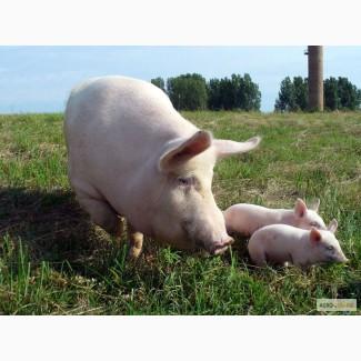 Продам домашніх свиней