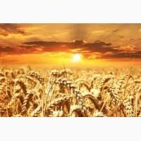 Продам пшеницу 3 кл