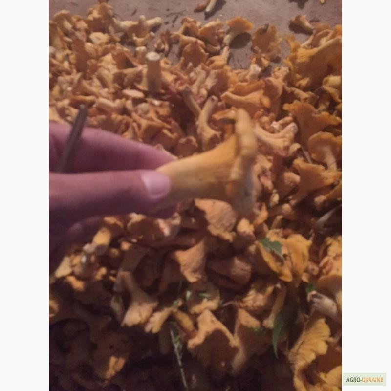 свежие лисички от паразитов