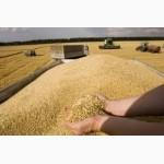 Зерновые и масличные культуры (ЗАКУПАЕМ)
