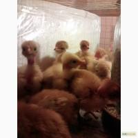 Продам цыплят испанки голошейки подрошенной