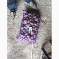 Продам товарный картофель, сорт ред леди