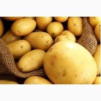 Продам посадочный картофель оптом