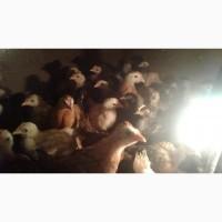 Продам цыплят возраст 1.5 мес