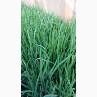 Зелена цибуля перо продам
