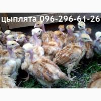 Подрощенные цыплята голошейка- испанка