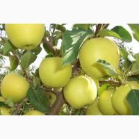 Продам яблоко Голден 7+ оптом Сбор 2018г