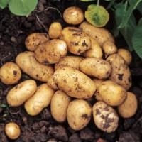 Покупаем домашний или копаный ручной копкой картофель