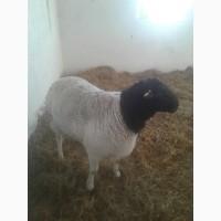 Продам плем молодняк овец