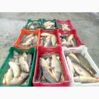 ФХ продает живую товарную рыбу! КАРП