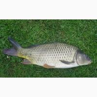 Продам живую рыбу: карп, толстолобик, щука, карась, сом, амур, зарыбок, зарибок