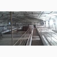 Сдам рабочую свиноферму в Одесской области