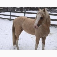 Спортивный пони уэльский жеребец пони