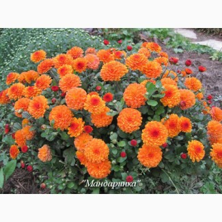 Хризантемы Пышные Корейские неприхотливые дешево куст 49 грн