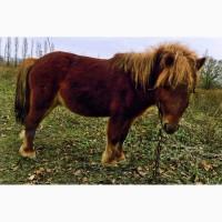 Продам пони шетленской породы