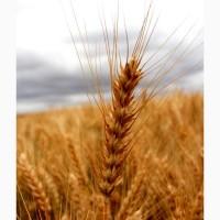Насіння озимої пшениці Шпалівка, урожайність 150 ц/га