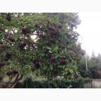 Закупаем ягоду бузины сухую, цвет бузины, лист и корень кульбабы, цвет липы, лист глоду