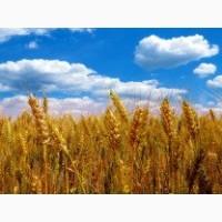 Продам насіння озимої пшениці Балатон (Probstdorfer Saatzucht, Австрія)