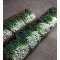 Релизы лук зелёный в хорошем качестве