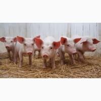 Продам мясных поросят с комплекса. Датская и Испанская селекция только ОПТ