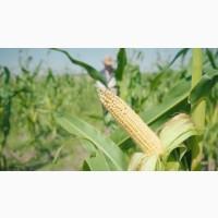 Семена кукурузы ДКС 4408 ФАО 340 (DKC 4408)