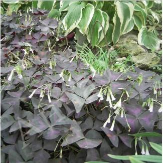 Кислица (Оксалис) с фиолетовыми листьями (10 клубеньков)