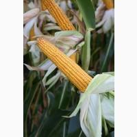 Насіння кукурудзи Данубіо(ФАО 260) від компанії Saatbau
