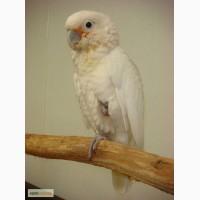 Попугай Гоффина Cacatua goffini - ручные птенцы сорванцы