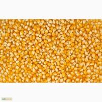Купим кукурузу фуражную