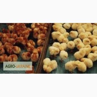 Цыплята Ломан Браун (курочка сортированная)