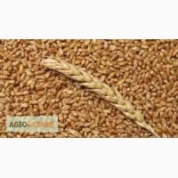 Терміново -Куплю пшеницю, кукурудзу, ячмінь