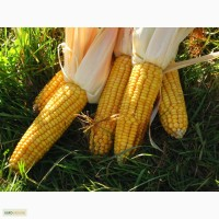 Продам семена кукурузы Солонянский 298
