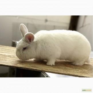 Продам кроликов породы Новозеландская Белая