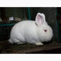 Продам кроликов породы Новозеландская Белая (НЗБ), Большое Светлое Серебро (БСС)