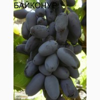 Саженцы винограда сорт Байконур и другие