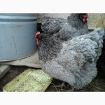 Пропоную інкубаційне яйце курей джерсійський гігант