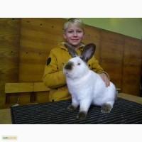 Продам племенні кролики породи Каліфорнійська
