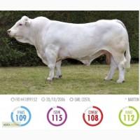 Сперма быков породы Шароле