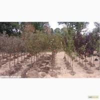 Саженцы яблони, вишни, черешни, персика, нектарина оптом